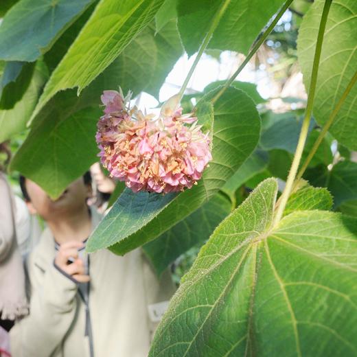 ドンベアウォリッキーの花と葉っぱの写真