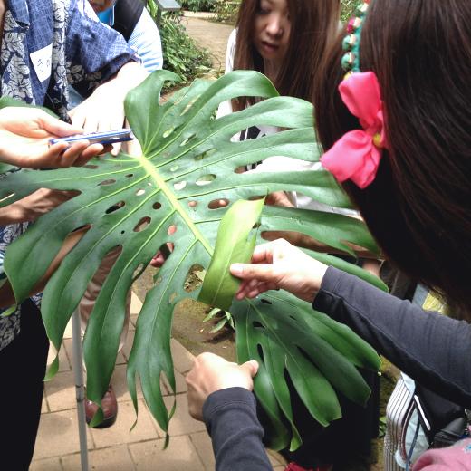 モンステラの葉の裏側を触る女性の写真